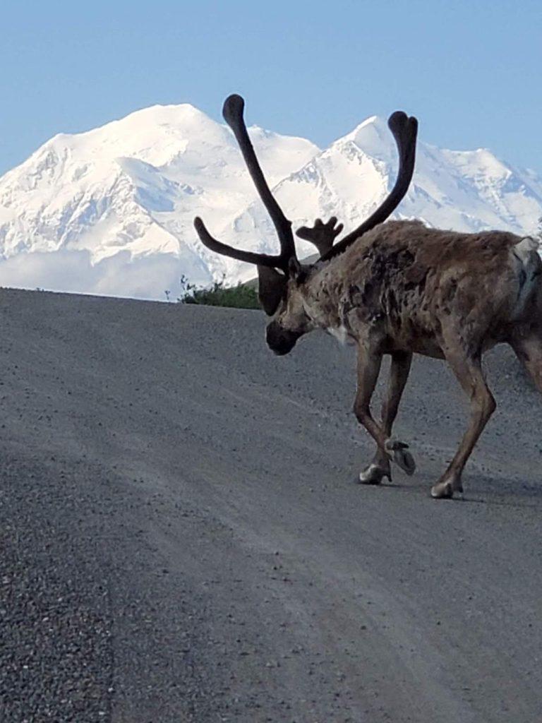 A Caribou on Denali